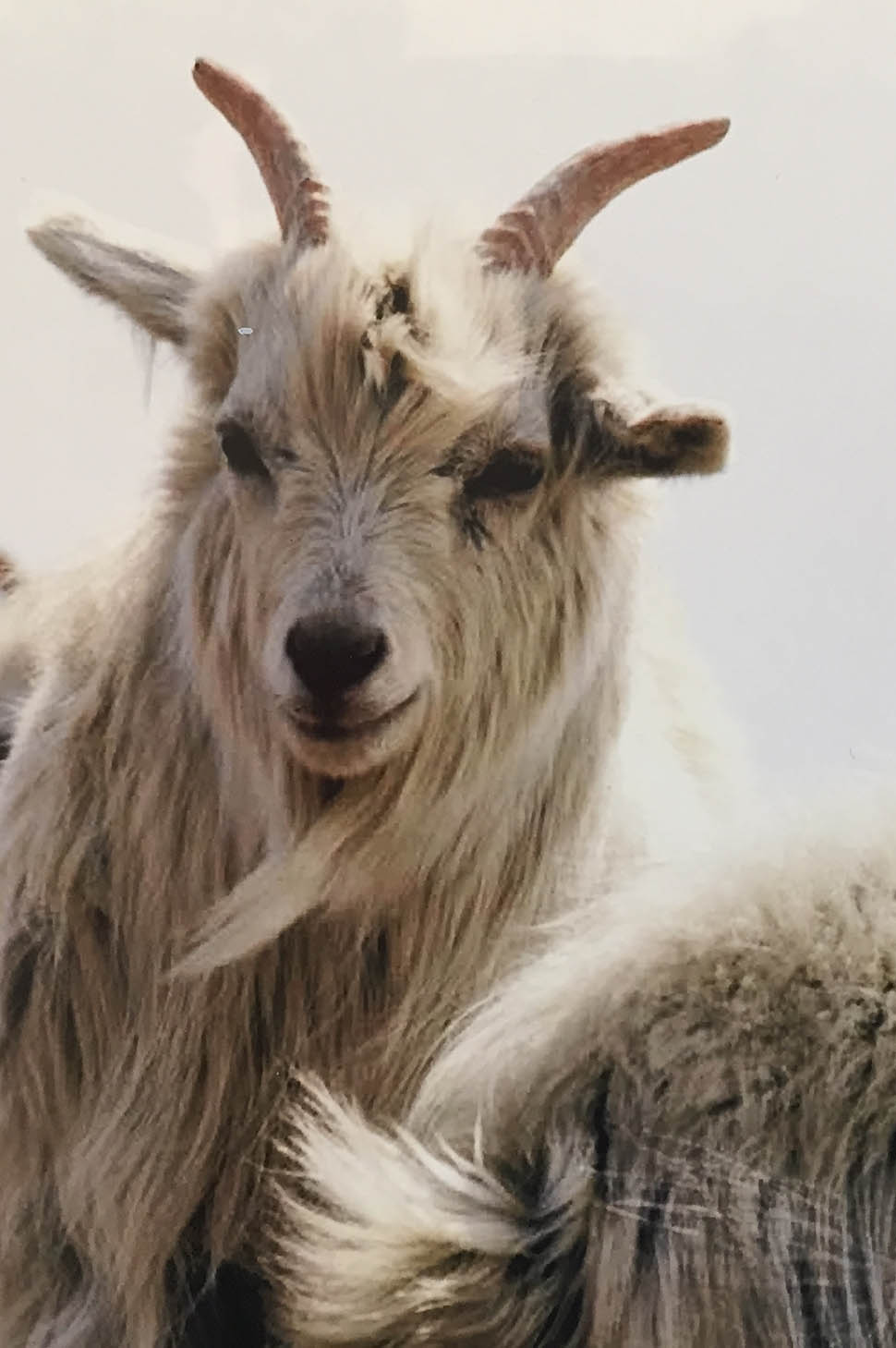 una capra da cashmere